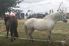 Icelandic horses were featured at the Canterbury A&P Show this year. Photo / ODT