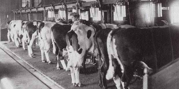 The first mechanised milking system for dairy cows was invented by New Zealand dairy farmer Norman Daysh. It was finetuned by DeLaval and commercially launched in 1917.
