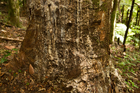 An infected kauri tree in the Huia Forest in the Waitakere Ranges bleeds resin down its trunk. Photo / File