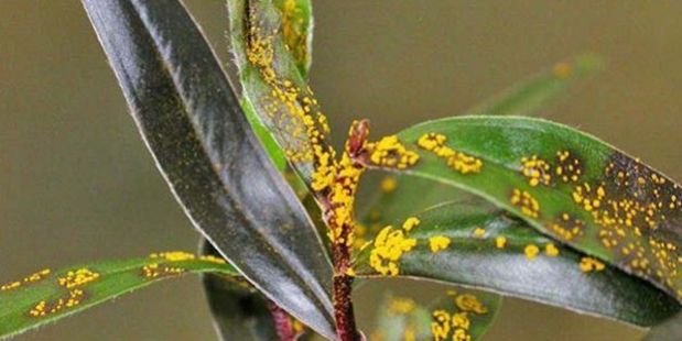 Plant disease myrtle rust on willow myrtle. Photo/file