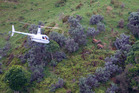 A helicopter being used to herd valuable hinds from near the intended drop-zone for a 1080 poison operation. Photo / File