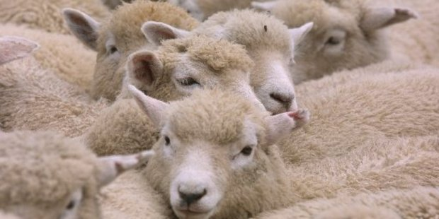 Farmers hope for strong returns despite low wool prices this season.