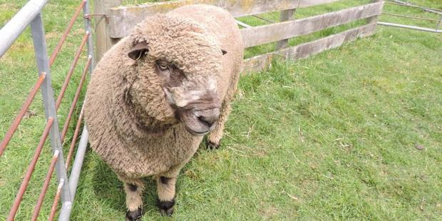 The champion, a coloured ram bred by Leo Ponsonby of Rolleston.