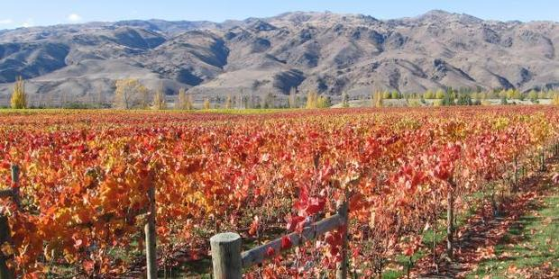 Increasingly warmer temperatures are likely to see new varieties of grapes such as syrah and merlot grown in Central Otago vineyards by the end of the century. Photo: SRL Archives
