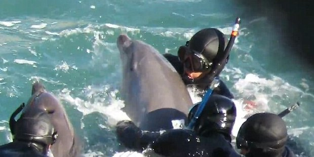 The young dolphin almost makes it back to its pod but the hunters manage to turn the animal around to take it back to their boat. Photo / Liz Carter Facebook