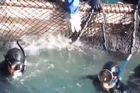 A mother dolphin tried desperately to save her calf from Japanese hunters who planned to sell the animals to aquariums, according to activists.  Credit: Blue Cove Days Everyday, Forever