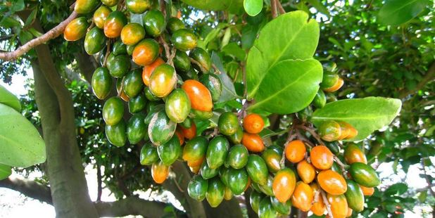 Karaka tree berries, which are poisonous to dogs. Photo / Supplied