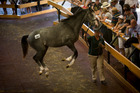 A record $30 million was spent at the first day of the Karaka bloodstock sales yesterday. Photo / Dean Purcell