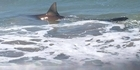 Watch: Watch: Bronze Whaler shark at Papamoa