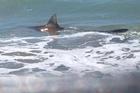 BTG 28Jan17 - CRUISING: The shark enjoys swimming in the surf at Papamoa Beach. PHOTO/SAMANTHA SOWTER