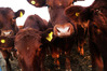 Cattle disease Mycoplasma Bovis has been found in the North Island for the first time. Photo / Bloomberg