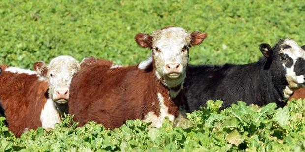 Beef prices lifted marginally higher in the third quarter. Photo / Stephen Jaquiery