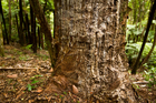 The unstoppable kauri-killing disease that's forced iwi to declare a rahui across the Waitakere Ranges may have been lurking in our wilderness for centuries, scientists say. Photo / File
