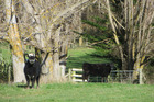 Cattle are part of the diversity on lifestyle block. Photo / Dave Murdoch