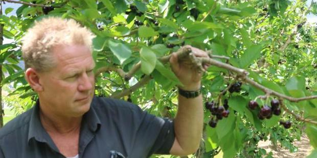 Jackson Orchards manager Mark Jackson inspects a cherry tree to see if the fruit is ready to pick and eat. Photo /Tom Kitchin