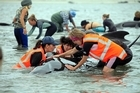 10 Feb 2017 - Mass whale stranding on Farewell Spit, Golden Bay, New Zealand: Rescuers try to right whales lying on their sides