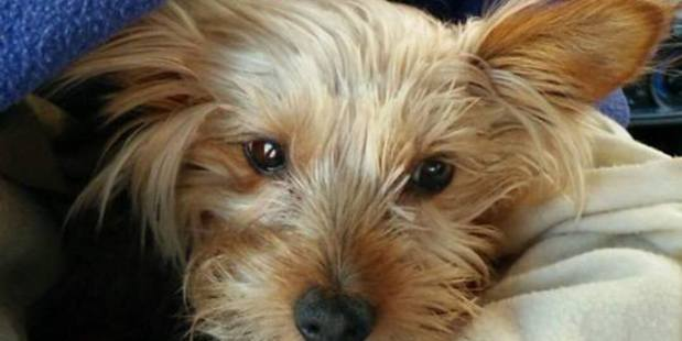 3kg Yorkshire terrier was left needing three hours after surgery, after she was mauled. Photo / Camille Walton.