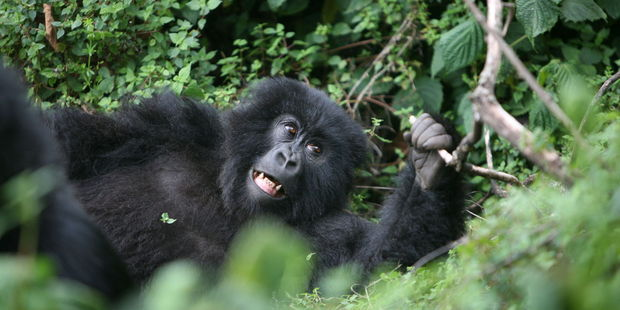 Spot gorillas in their natural habitat in Rwanda. Photo / 123RF