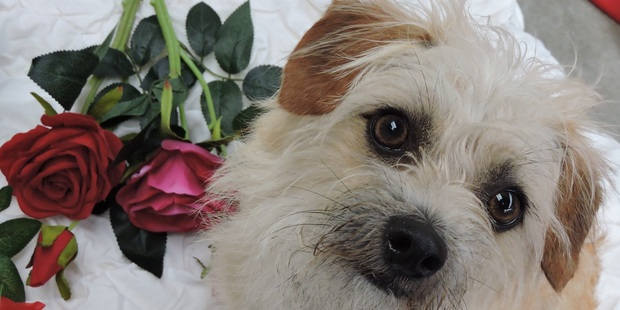 Fred, a two year old Cairn Terrier-cross, is up for adoption from the Auckland Council's Manukau shelter. Photo / Auckland Council