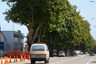 The 100-year-old plane trees of Wilson St will be cut down as part of a project to update the aging Street. Photograph by Bevan Conley.