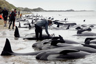 Hundreds of whales have stranded themselves on Farewell Spit. Photo / Tim Cuff