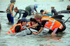 Hundreds of people have responded to a call for volunteers to help the stranded whales. Photo / Tim Cuff