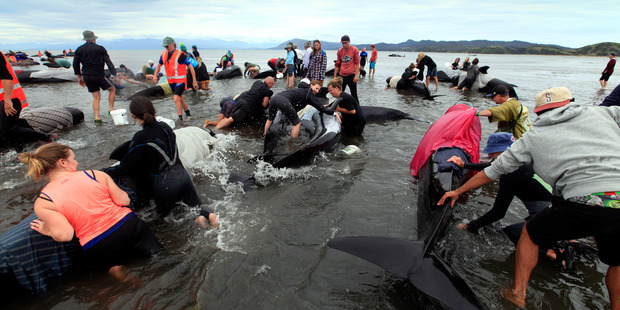 Volunteers frantically attempt to bring whales on their sides upright. Photo / Tim Cuff