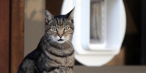 Devonport Library cat, Benjamin, has died. Photo / Doug Sherring