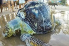 A sea turtle lies lifeless, wrapped in plastic on the shores of Porto de Galinhas beach. Photo / Getty Images