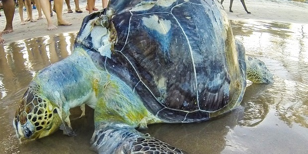 Loading A sea turtle lies lifeless, wrapped in plastic on the shores of Porto de Galinhas beach. Photo / Getty Images