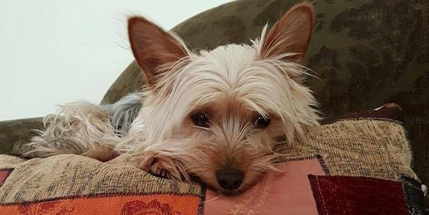 It's still unknown if Yorkshire terrier Pip will need more surgery. Photo / Camille Walton.