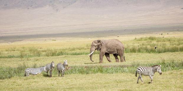 Saimon Sirikwa was a guide in Tanzania's famous Serengeti National Park. Photo / 123RF