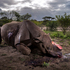 'Rhino Wars' by photographer Brent Stirton, Getty Images for National Geographic Magazine, which won first prize in the Nature, Stories shows a dead Black Rhino Bull in South Africa.