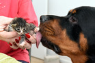 FATHER: A 50kg rottweiler named Bear has adopted three abandoned kittens and likes to lick them clean every time they finish a feed. PHOTO/GEORGE NOVAK