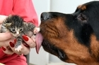 A 50kg rottweiler named Bear has adopted three abandoned kittens and likes to lick them clean every time they finish a feed.