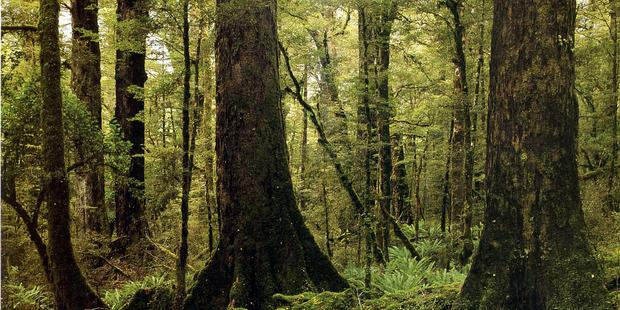 New Zealand forests could be sucking much more CO2 out of our atmosphere than first thought - with native forests responsible for much of it. Photo / File