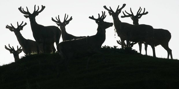 A seminar on stag health next week in Fordell is part of the Passion2Profit programme. Photo / Mark Mitchell