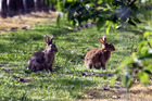 A variant of the Rabbit Haemorrhagic Disease is planned for release throughout Otago this autumn. Photo / File