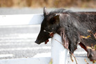 The skin of a pig hanging over a guard rail on Brook Rd has been called