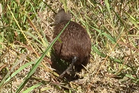 Kerikeri's Laura Parke snapped this photo of a kiwi wandering about in broad daylight. Photo / Laura Parke