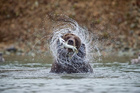 The best time to see bears fishing for salmon in Canada is September.  Photo / Getty Images