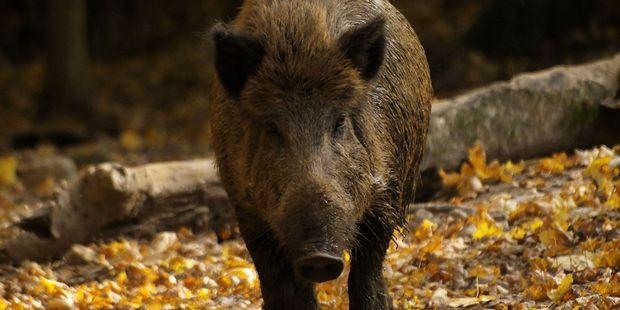 Wild boar is a delicacy in Czech Republic. Photo /123RF