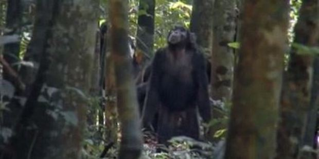 The chimpanzee then lock eyes on a monkey at the top of the tree. Photo / BBC