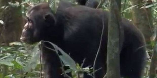 The aggressive apes then bound towards the smaller creature, leaping up towards her. Photo / BBC