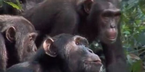Loading Chimpanzees normally exist on a diet of fruit, leaves, flowers and seeds. Photo / BBC