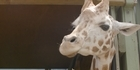 Watch: Watch NZH Focus: Giraffe on the move