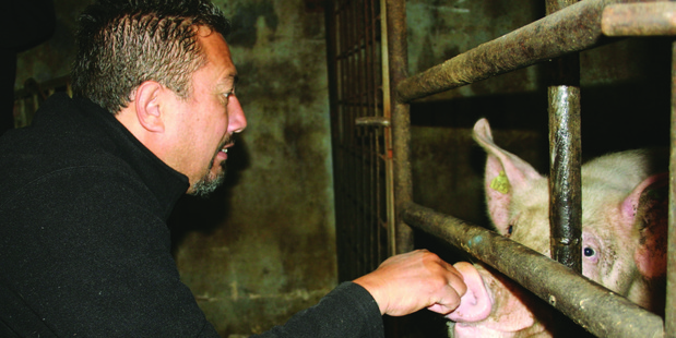 Mike King was taken to the piggery in 2009 by animal rights activists. Photo / Supplied.
