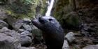 One of the dozens of seal pups who have made their home in the Ohau Stream north of Kaikoura. Photo / Simon Baker