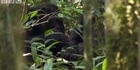 Watch: Raw: Horrifying moment chimps chase mother monkey and eat it
