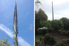 A New Zealand woman had no idea her succulent would burst into the sky overnight. Photo / Brian and Gaye Mullan
